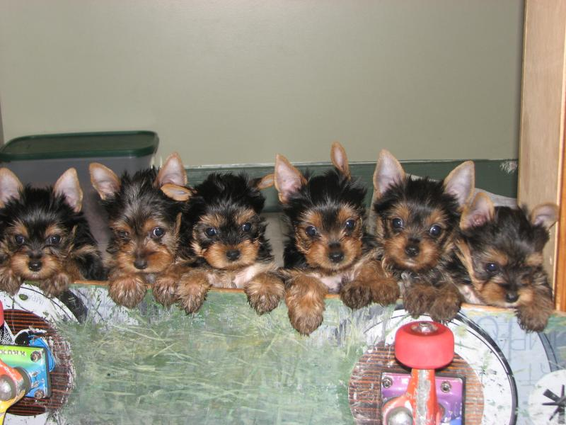 Dynamo Yorkshire Terriers Puppies Available