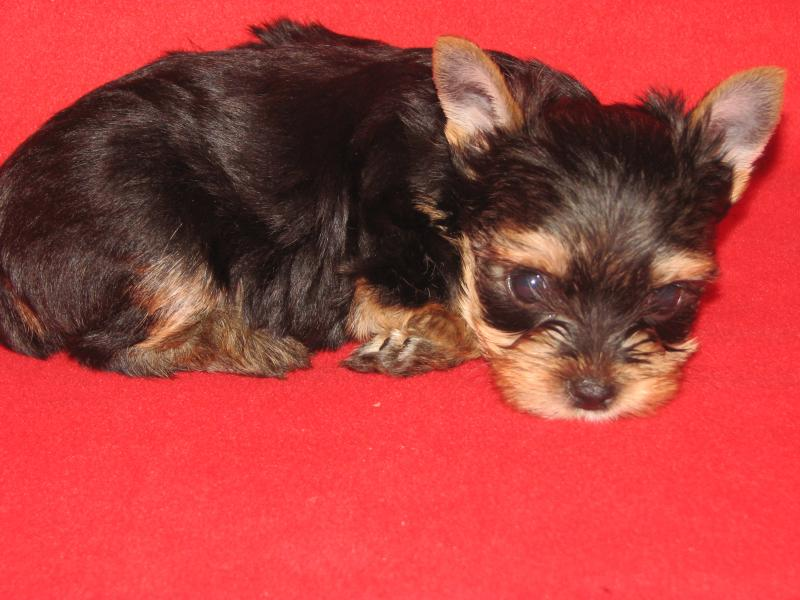 Dynamo Yorkshire Terriers - Puppies Available